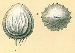 Pseudoolina multicosta