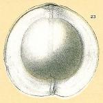 Fissurina wiesneri