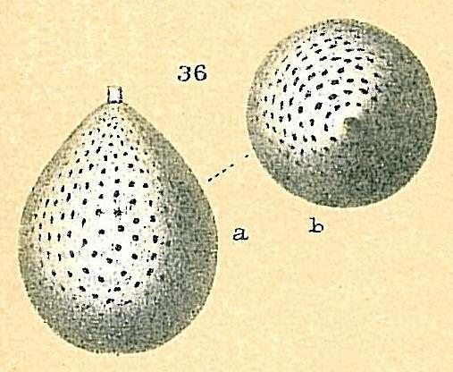 Sipholagena hertwigiana