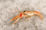 Nephrops norvegicus (Linnaeus, 1758)