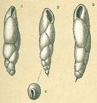 Fursenkoina complanata