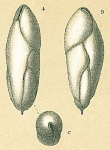 Fursenkoina pauciloculata