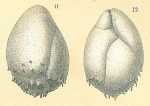Praeglobobulimina spinescens, author: Tomas Cedhagen