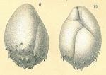 Praeglobobulimina spinescens
