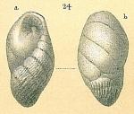 Elongobula arethusae