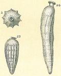 Siphogenerina indica