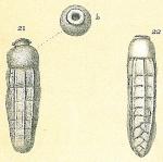 Siphogenerina raphanus