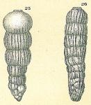 Siphogenerina striata var. curta