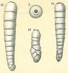 Siphouvigerina columellaris