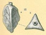 Trifarina lepida