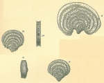 Pavonina flabelliformis
