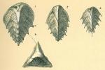 Reussella spinulosa