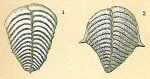 Bolivinella folia