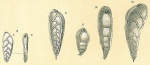 Bolivinita quadrilaterata