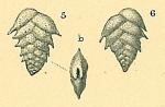 Brizalina pygmaea, author: Tomas Cedhagen