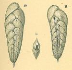 Brizalina subaenariensis var. mexicana