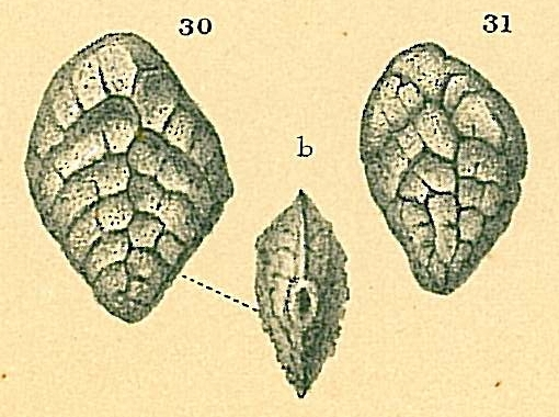 Brizalina subreticulata