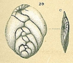 Brizalina subtenuis