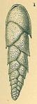 Euloxostoma bradyi