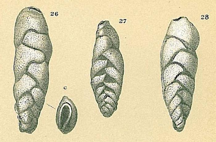 Loxostomina limbata