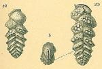 Pseudobrizalina lobata