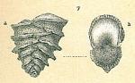 Sagrinella jugosa