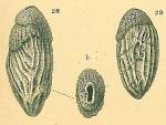 Saidovina amygdalaeformis