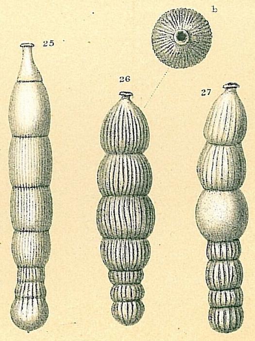 Orthomorphina challengeriana