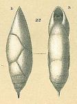 Pleurostomella acuminata