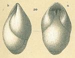Pleurostomella brevis