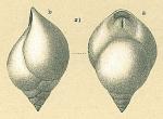 Pleurostomella recens