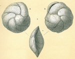 Cassidulina teretis