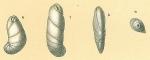 Cassidulinoides bradyi