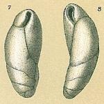 Cassidulinoides tenuis