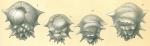 Ehrenbergina hystrix