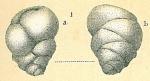 Ehrenbergina pupa