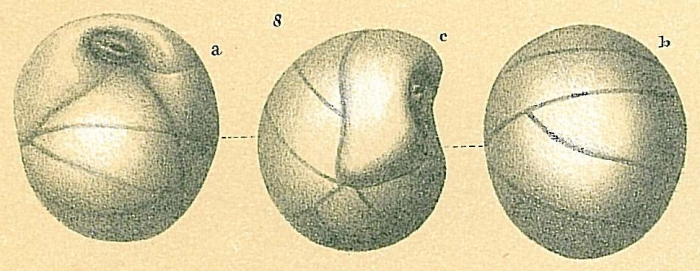 Globocassidulina pacifica