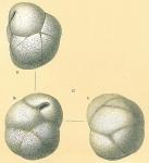 Globocassidulina subglobosa