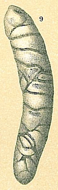 Orthoplecta clavata