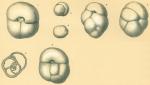Sphaeroidina bulloides