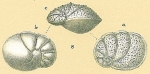 Ceratocancris scaber