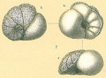 Lamarckina ventricosa