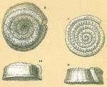 Spirillina inaequalis