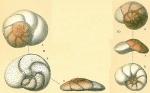 Discorbinella araucana