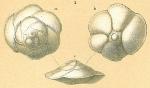 Gavelinopsis lobatula