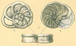 Planulinoides biconcavus
