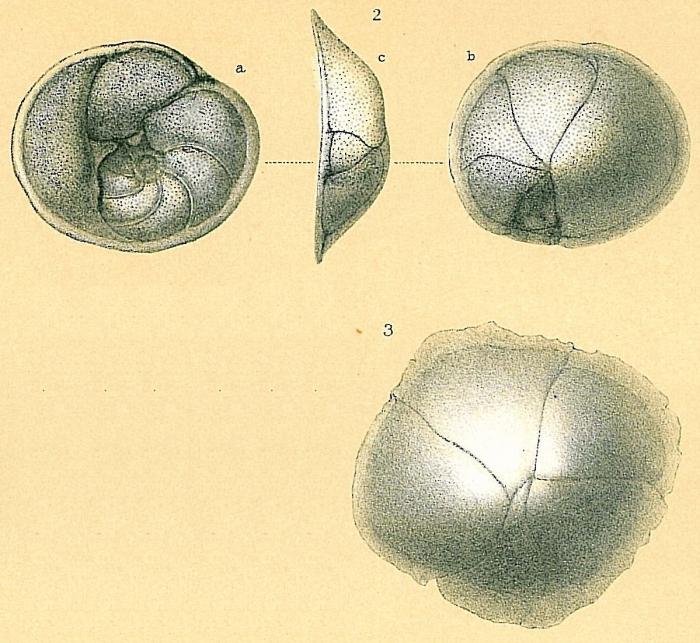 Planulinoides rarescens