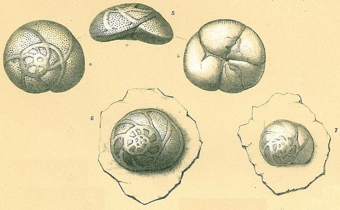 Rosalina australis