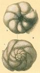 Rosalina eximia