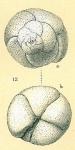 Rosalina sp.nov1.